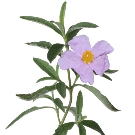 Apothecary Aroma Spray Cistrose/Labdanum (Czystek) 30 ml
