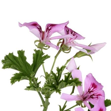 Apothecary Aroma Spray GERANIUM 30 ml