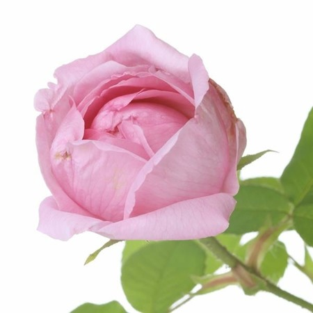 Apothecary Aroma Spray ROSE (Róża) 30 ml